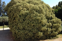 Pittosporum florit
